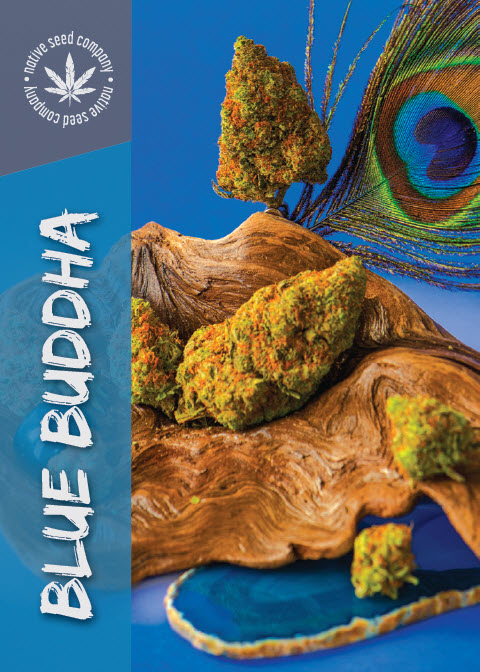 Collector Seed by Native Seed - Blue Buddha