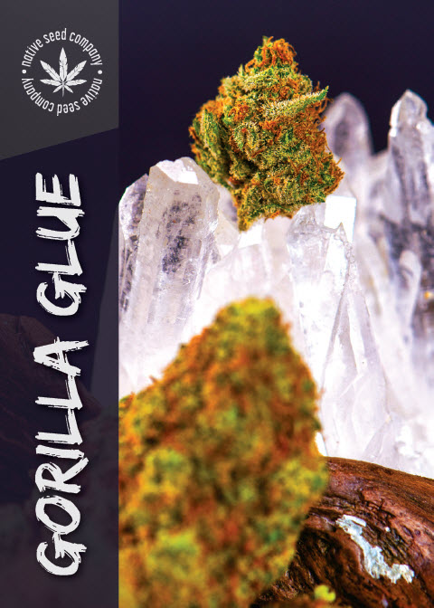 Collector Seed by Native Seed - Gorilla Glue