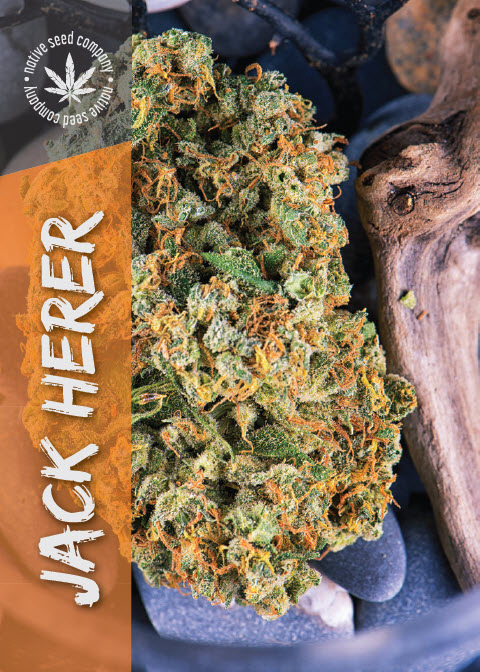 Collector Seed by Native Seed - Jack Herer